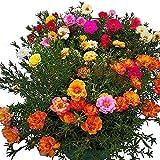 Keshang viele Blüten,,Grasblume halber Lotus Sonnenblumenkerne See-Samen_10000pcs,Zum Pflanzen...