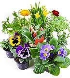 Frhlingsblumen Set 6, Ranunkeln, Narzissen, Tulpen, Nelken, Viola & Primeln