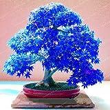 Kalash New 20pcs Maple Baumsamen für Garten Blau