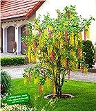 BALDUR-Garten Chimren-Goldregen, 1 Pflanze Laburnocytisus adamii Edel Goldregen