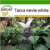 SAFLAX - Nepalesische Riesen - Fledermausblume - 10 Samen - Mit keimfreiem Anzuchtsubstrat - Tacca...