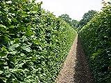 10 Stk. Hainbuche Hainbuchenhecke Wurzelware 80-120 cm hoch - Carpinus betulus - Garten von Ehren