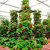 Yukio Samenhaus - Kletter-Erdbeere 'Hummi' lecker immertragend, voll durchwurzelt, Erdbeeren im...