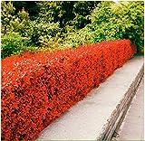 Beautytalk-Garten-Hecke, Zierpflanzen mehrjährig winterhart Heckenpflanzen WildBlumen...