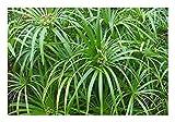 Wunderschnes Freiland-Zyperngras'Cyperus glaber'