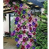 Ultrey Samenshop - 40 Stck Clematis Samen Kletterpflanzen Garten Zierpflanzen Blumensamen...
