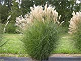 10 x Miscanthus sinensis 1 Liter (Ziergras/Grser/Stauden) Chinaschilf ab 3,19 pro Stck