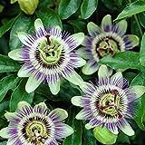 Passionsblume (Passiflora caerulea) - Mehrjrige Kletterpflanze, Winterhart & Immergrn - 1,5 Liter...