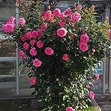 Kletterrose Parfum Royal Climbing in Pink - Kletter-Rose sehr stark duftend - Pflanze fr Rankhilfe...