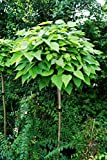 Kugelbaum Trompetenbaum, Catalpa bignonioides Nana Kugelbaum Stammhöhe 220 cm, Stammumfang 8-10 cm...