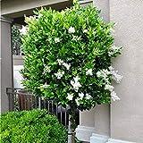 Future Exotics Ligustrum japonicum rotundifolia Echter Japanischer Liguster winterhart 35-45 cm