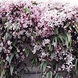 3 x Clematis armandii Apple Blossom (Immergrn und Winterhart) - Mehrjrige Immergrne Kletterpflanzen:...
