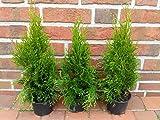 40 Stck Thuja occidentalis Smaragd, Hhe ab Topf: 40-45 cm, Heckenpflanzen