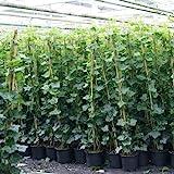 6 x Efeu 140-175 cm (Hedera Hibernica): 6 kaufen/ 4 bezahlen - 6 immergrüne echte Pflanzen für...