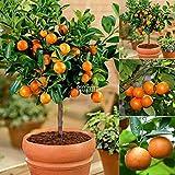 Yukio Samenhaus - Mandarinenbaum (Citrus reticulata) Obstsamen Bonsai Samen winterharte Sorte...