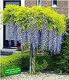 BALDUR-Garten Blauregen auf Stamm winterhartes Stmmchen, 1 Pflanze Wisteria sinensis Glycinie...