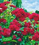 BALDUR-Garten Rambler-Rosen 'Chevy Chase', 1 Pflanze Kletterrose winterhart mehrjährige...