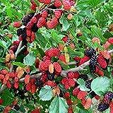 100PCS Obst Erdbeere Samen, Bio Bonsai Fruchtsamen Stauden Garten-Blumen im Freien Zierpflanze