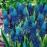 Soteer Garten - Hyazinthen Samen die Knigin der Frhlingsblumen Samen Traubenhyazinthe Farben...