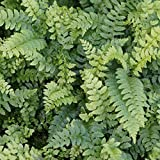 Blumixx Stauden Polystichum aculeatum - Glanzschildfarn