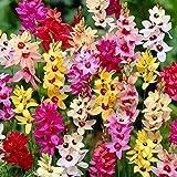 100 Stck Ixia Mischung - Blumenzwiebeln Gr.5/6 - SAISONWARE - NUR KURZE ZEIT ERHLTLICH