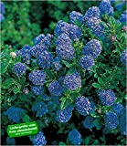 BALDUR-Garten Immergrüne Säckelblume Blauer Ceanothus 'Blue Mound', 1 Pflanze Kalifornischer...