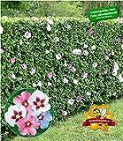BALDUR-Garten Winterharte Hibiskus-Hecke Garteneibisch Roseneibisch, 10 Pflanzen Hibiscus Syriacus...