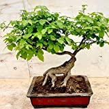 RETS Bonsai 30 Piecesseeds/Lot y Garten-Baum