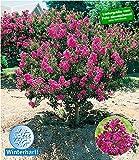 BALDUR-Garten Flieder des Südens, 1 Pflanze Lagerstroemia indica Kreppmyrte winterhart
