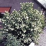 Dominik Blumen und Pflanzen, Gefllter Schneeball, Viburnum opulus 'Roseum' wei blhend, 1 Strauch, 30...