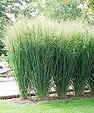 Vavrica Owens - Rutenhirse 'Fontaine' Bio Samen,Grasssamen pflegeleicht und frosthart,verfrbt sich...