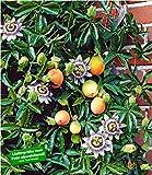 BALDUR Garten Exotisch Maracuja-Pflanze 1 Pflanze Passiflora edulis Passionsblume Passionsfrucht...