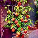 Portal Cool Se Pfirsichpflanzen, Herbst Rote Pfirsichbaum Frucht Planta Drawf Indoor Bonsai 10 Stcke