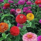 100 STÜCKE Zinnie Bonsai Samen Blumensamen Pflanze Hausgarten Dekorative Pflanzen Samen Einfach Zu...