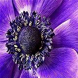 100 Stück Selten Lila Sonnenblumenkerne Schöne Blume Hausgarten Dekoration Pflanze
