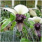Bat Blume Verwurzelt Pflanze 10 Samen 'White Flower Bat Pflanze' Fledermausblume