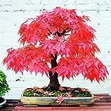 Rote Ahornbaum-Samen, seltene Canadamini Bonsai-Pflanzen für Blumentöpfe, 2 Stück