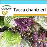 SAFLAX - Geschenk Set - Fledermausblume - 10 Samen - Mit Geschenk- / Versandbox, Versandaufkleber,...