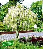 BALDUR-Garten Weies Blauregen-Stmmchen'Alba',1 Pflanze