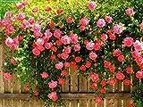 SONIRY 6: 100 PC/Bag Mischungsfarben Kletterrose Samen Hof Pflanzen