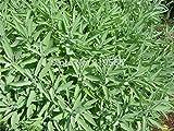 Limitierte chinesische Salbeisamen, 30 Stück Kräuter, Carnosic Sementes Bonsai Salvia Officinalis,...