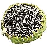 Sonnenblumenkerne, Samen, Zwergsonnenblumenöl, Blumensämlinge mit Wurzeln, extra große Samen, 300...