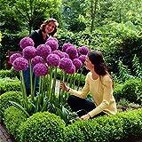 Yukio Samenhaus - RIESEN Zierlauch (Allium giganteum) Blumenzwiebel 10-100Samen winterhart mehrjhrig...