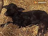 Ein Büffelkälbchen wird adoptiert