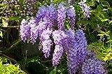 Wunderschne Kletterplanze - Chinesischer Blauregen - Wisteria sinensis- verschiedene Gren (50-70cm...