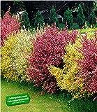 BALDUR-Garten Ginster-Hecke'Tricolor', 3 Pflanzen Cytisus praecox winterhart Heckenpflanzen