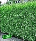 BALDUR-Garten Leyland-Zypressen-Hecke winterhart, 10 Pflanzen immergrün Cupressocyparis leylandii